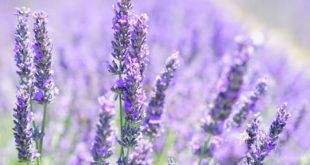 Lavendel 310x165 - Bitterstoffe – ein vergessenes Heilmittel