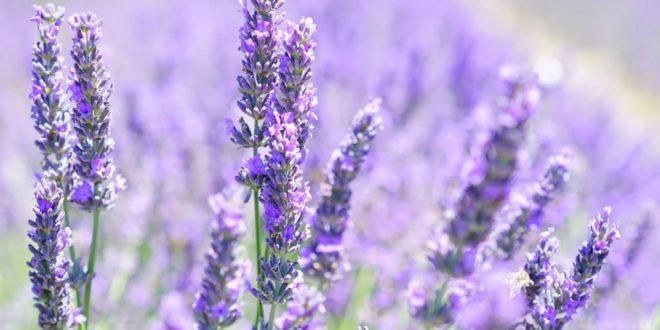 Lavendel 660x330 - Bitterstoffe – ein vergessenes Heilmittel